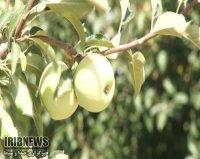 اهدای  31 تن سیب به کمیته امداد اسفراین